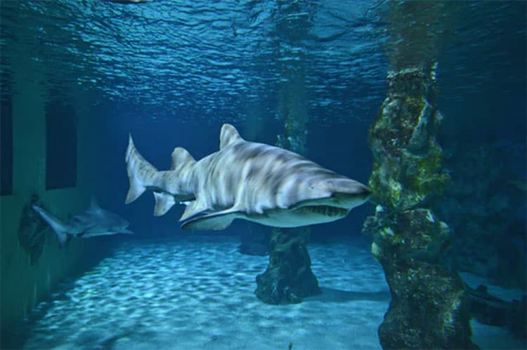 30 Amazing Shark Facts
