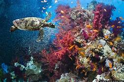 sea turtles and corals